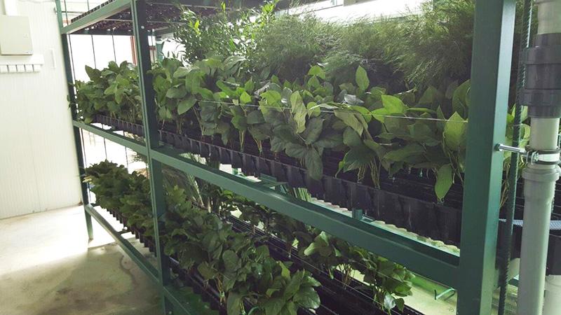 Процесс стабилизации растений в технологических стеллажах